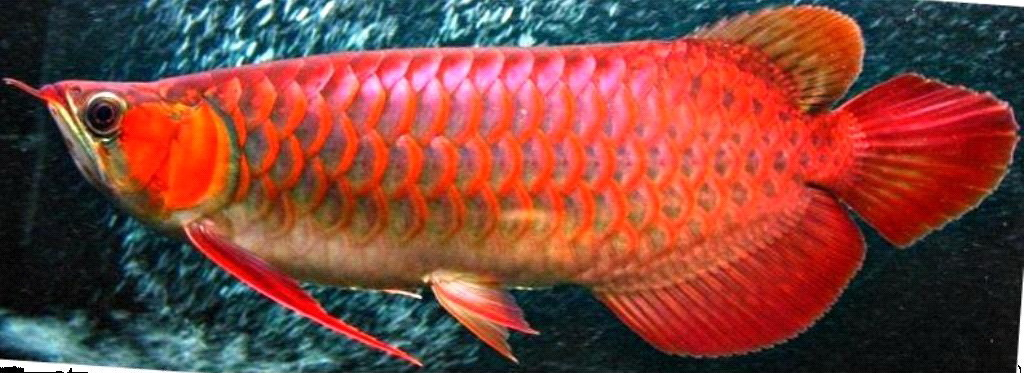 Super-Red-Arowana